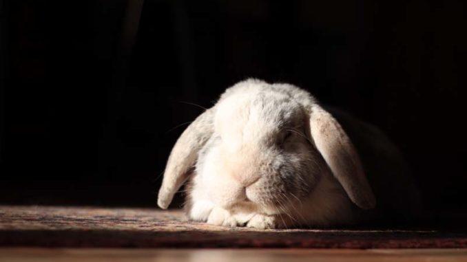 Kokcydioza królików