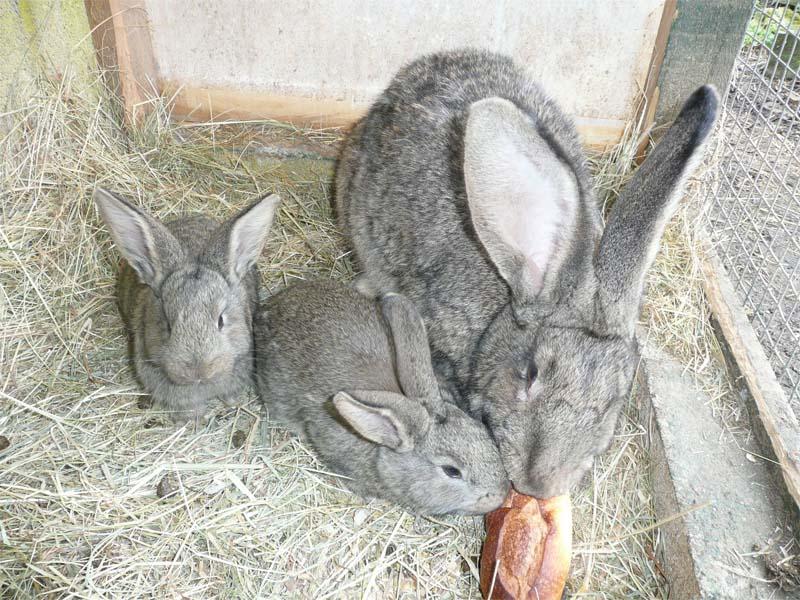 królik belgijski olbrzym