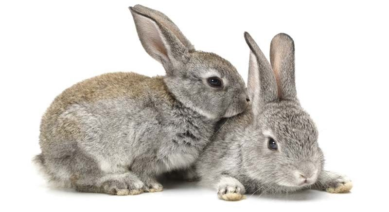 szynszyl mały królik