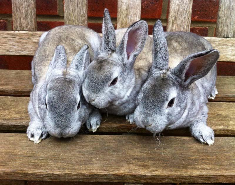szynszyle małe króliki
