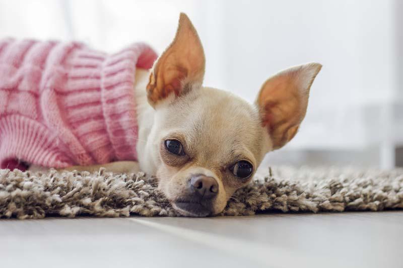 Rewelacyjny Psy miniaturowe - porównanie 4 ras - zwierzaki DQ94