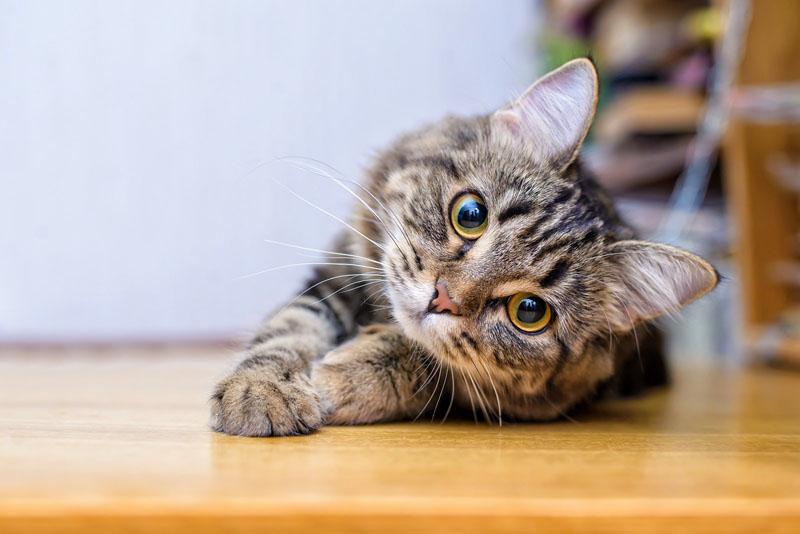 Kot dachowiec