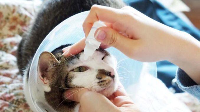 Zapalenie spojówek u kotów