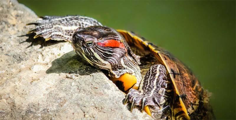 Żółwie czerwonolice