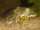 Żółwie żółtolice