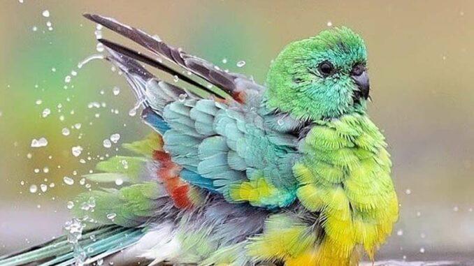Kąpiel ptaków