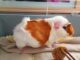 Opieka nad ciężarnymi świnkami morskimi