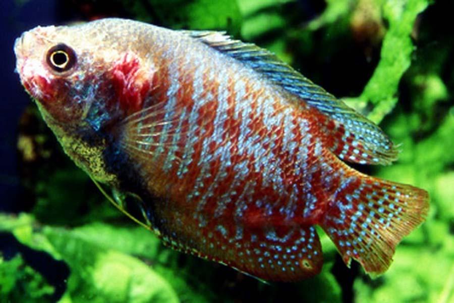 Choroby ryb akwariowych – oodinioza