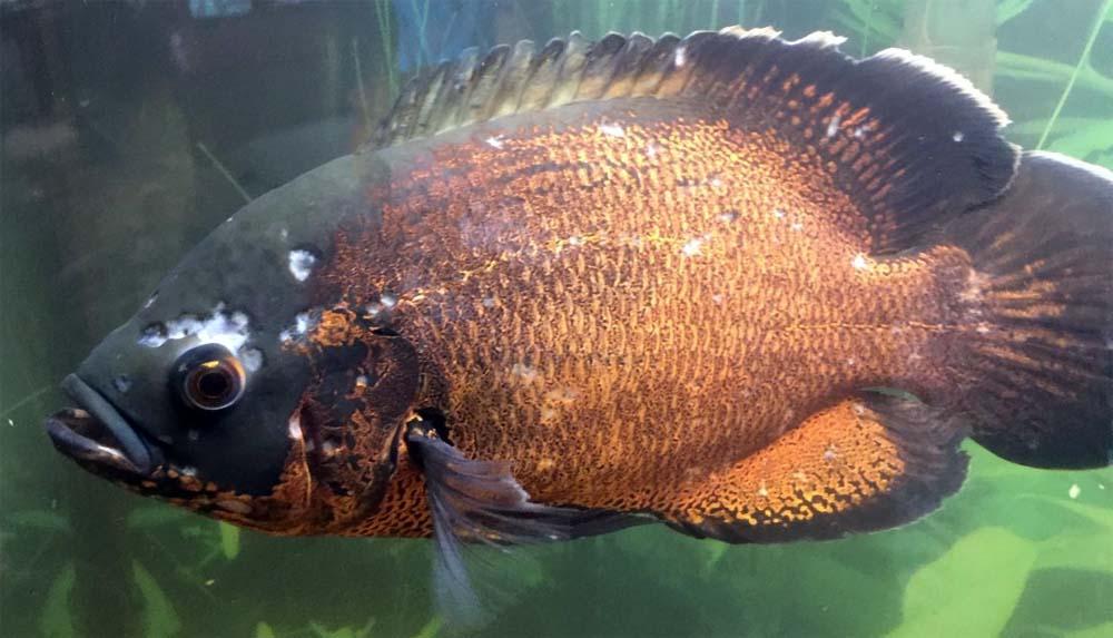 Choroby ryb akwariowych – ospa rybia