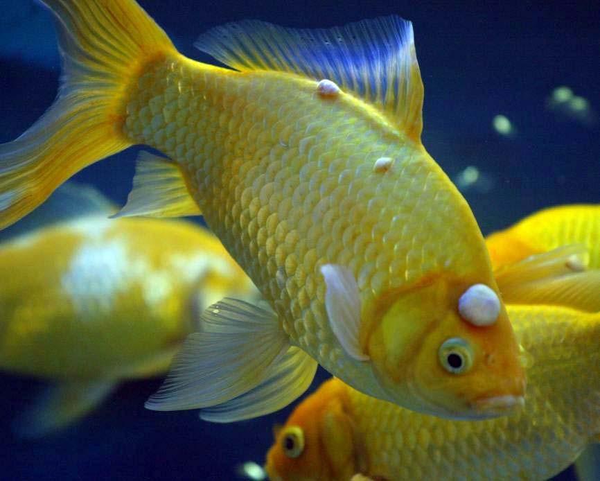 Choroby ryb akwariowych - pleśniawka