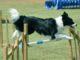 10 najmądrzejszych ras psów: czy twój pies jest na liście