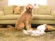 Niszczenie przedmiotów przez psa