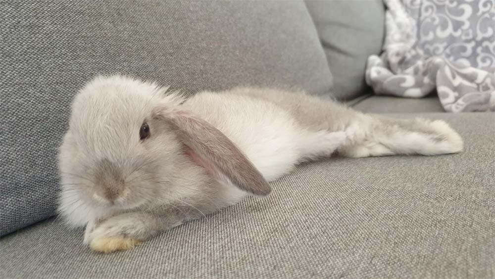 królik w domu